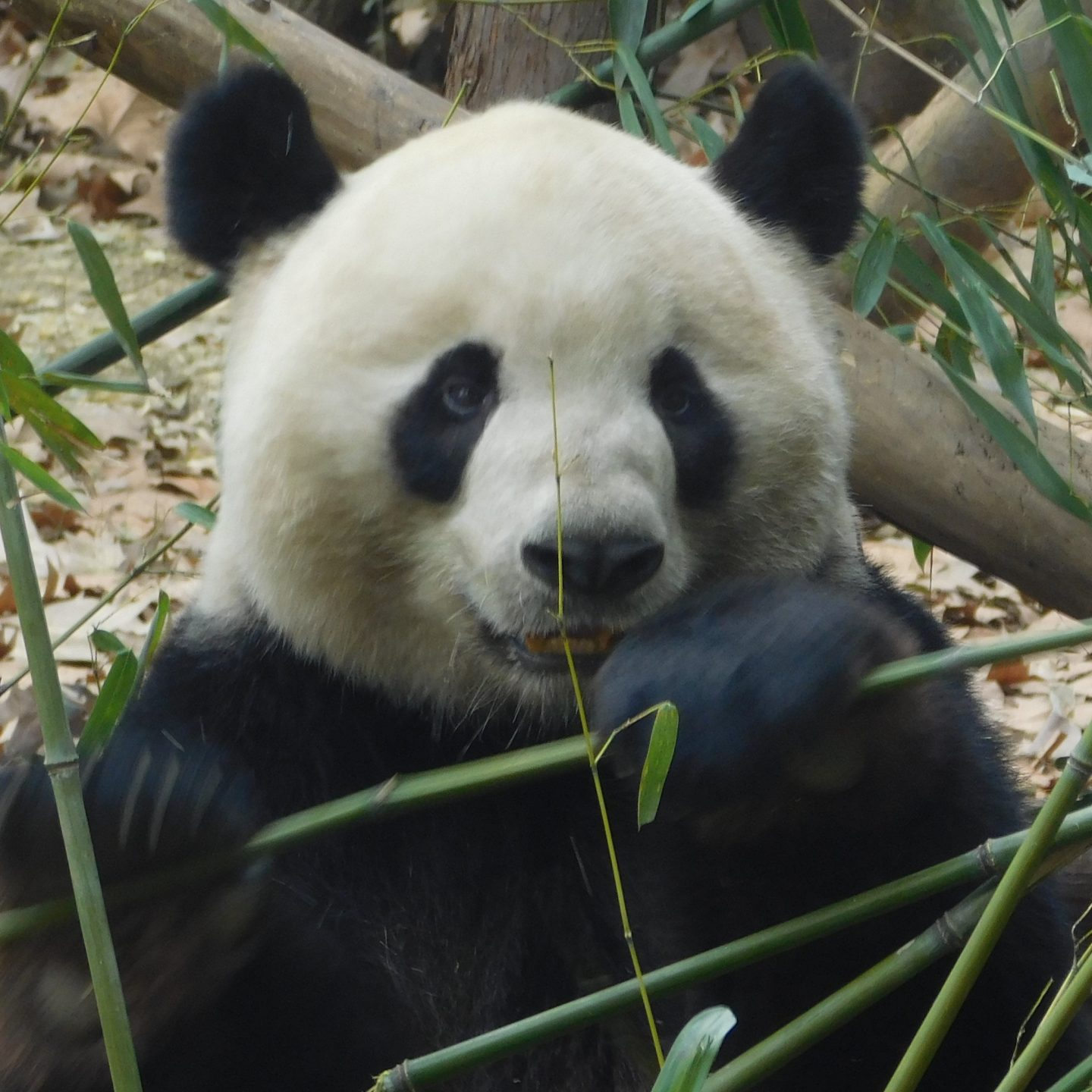 A Day with the Giant Panda!