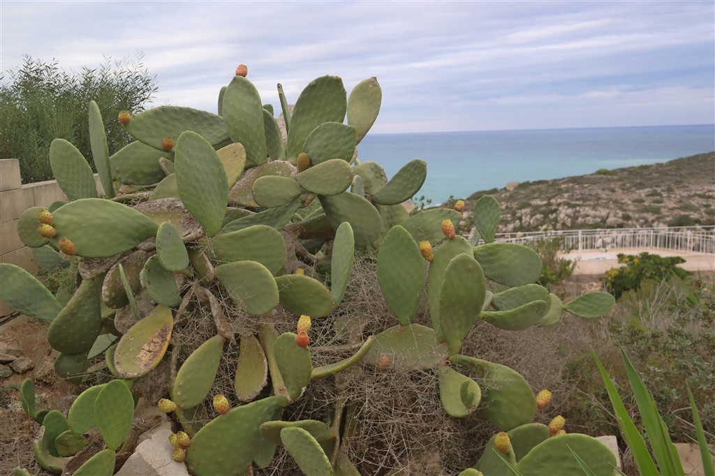 cactus prickly pear