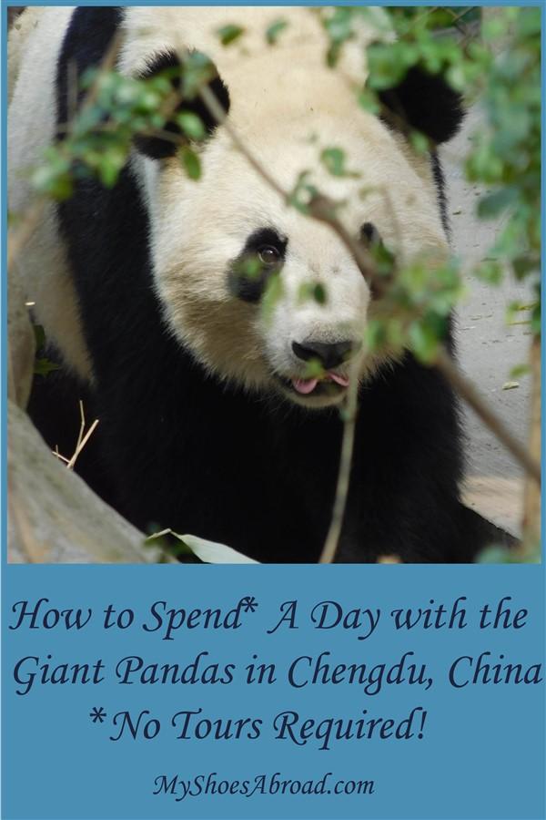 How to visit Pandas in Chengdu DIY