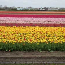 Holland: Are the famous Tulips Keukenhof Gardens worth it?
