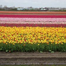 Keukenhof Gardens, The Famous Tulip Fields in Holland, worth it or not?
