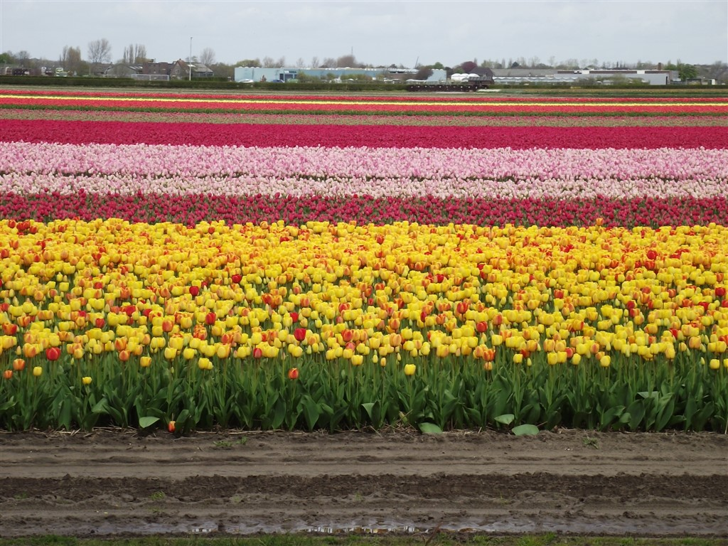 Keukenhof Gardens, The Famous Tulip Fields in Holland, worth it or not?