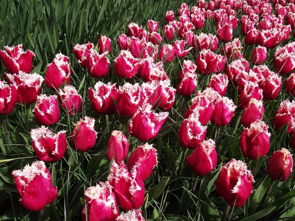tulips fabric Netherlands