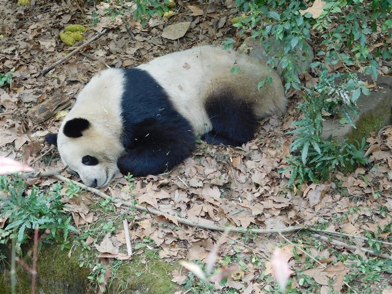 panda china what to expect